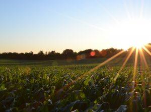 corn-691634